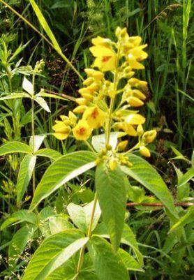 Солідаго, золотарник, золота різка, лікувальні та декоративні властивості рослини