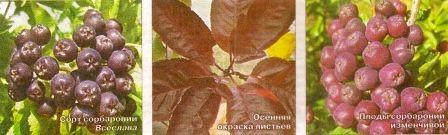 Сорбаронія: горобина плюс аронія
