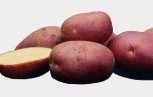 Сорт картоплі «лабелль»: опис високоврожайний красуні з голландії