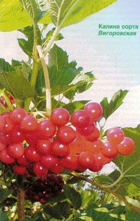 Сорти, агротехніка, харчові та лікувальні властивості калини