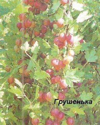 Сорти бірюлёвского агрусу