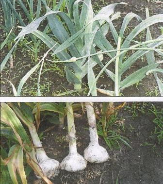 Сорти часнику, агротехніка