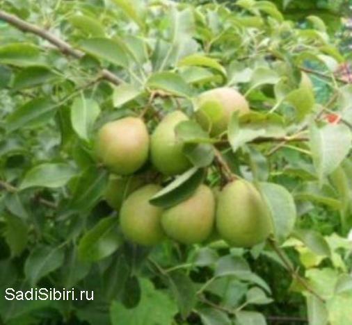 Сорти груші, виведені в сибіру