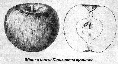 Сорти яблуні дикуша і пашкевича червоне загублені, опис сортів