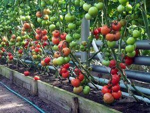Сорти томатів для теплиць