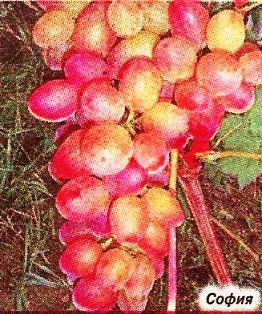 Сортовий моніторинг винограду в. Загорулько
