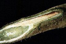 Фото ураженого рослин фузаріозом