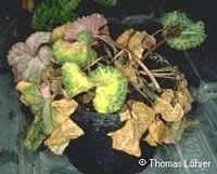 Фото ураженої рослини фузаріозом