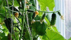 Поради та рекомендації як виростити огірки на підвіконні в квартирі взимку? Особливості посадки і догляду за розсадою в домашніх умовах
