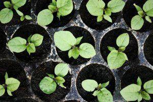 Поради та рекомендації по догляду за розсадою перців і баклажанів в домашніх умовах: як виростити хорошу розсаду і отримати багатий врожай