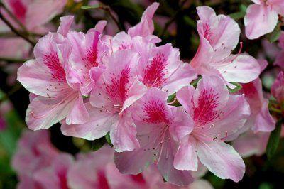 Бонсай з азалії: обрізка після цвітіння, прищіпка, догляд, фото