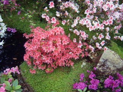 Особливості вирощування садової вербени: догляд, як зберегти її взимку?