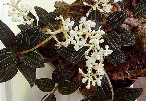 Поради по догляду за орхідеєю лудізіей або дорогоцінної