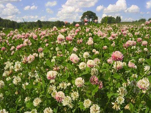 Список рослин сидератів, які можна використовувати, як добрива