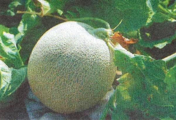 Способи та методи щеплення дині, кавуна і огірків на гарбуз