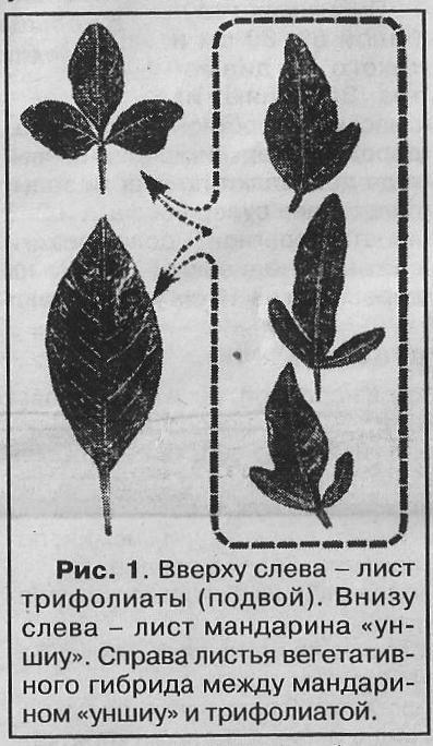 Способи отримання прищепних химер деревних рослин