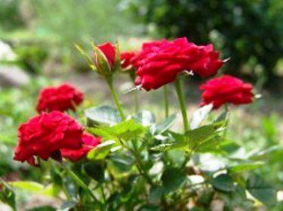 Способи розмноження троянди