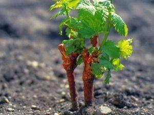 Способи розмноження винограду живцями