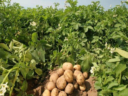 Калієві добрива дуже ефективні для врожаю картоплі