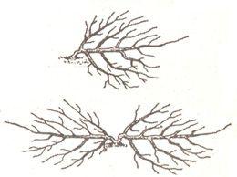 Стланцевой-підйомна формування яблуні в суворих кліматичних умовах
