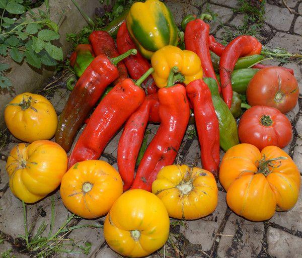 Сто секретів, як виростити цілющі томати