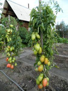 Стійкий томат «подсінское диво» від минусинских селекціонерів: опис сорту, фото