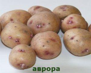 Столовий, среднепоздний картопля «аврора»: опис сорту, характеристики і фото