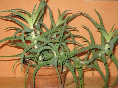 Суккулент алое деревовидне (столітник): поради по догляду в домашніх умовах, корисні властивості