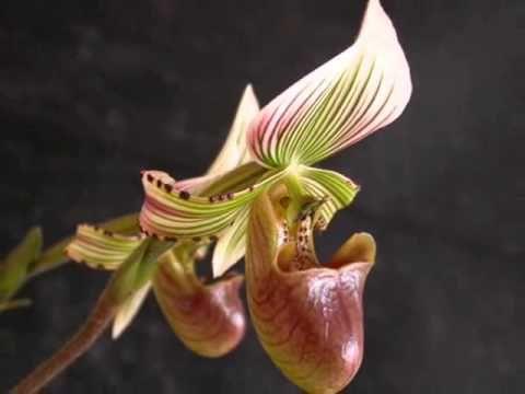 Орхідея пафіопеділум (зозулині черевички, лісова орхідея): догляд в домашніх умовах