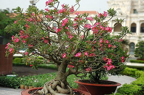 Сукулентна рослина адениума: фото, правильний догляд в домашніх умовах