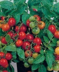 Такі схожі назви і абсолютно різні томати черрі «линда» і гібрид японської селекції «линда f1»