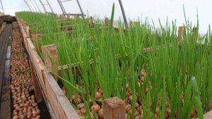 Плюси вирощування цибулі в теплиці