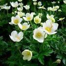 Тіньолюбні квіти для саду
