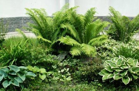 Види папороті садового: дизайн ділянки
