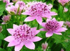Тіньолюбні квіти - Астранція велика