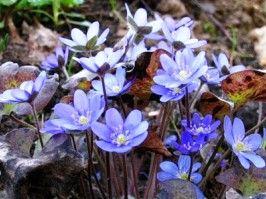 квіти Печіночниця