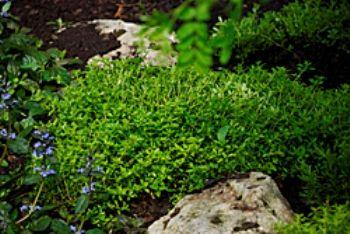 Чебрець, богородская - трава ліки і прянощі з городу, форми, сорти, агротехніка, рецепти