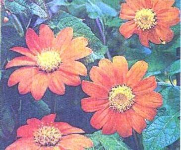 Тітона круглолистная, або мексиканський соняшник, особливості культури та догляд за нею