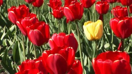 Тюльпани: посадка і догляд
