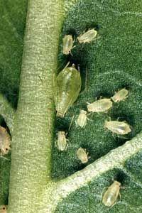Попелиця (aphidinea)
