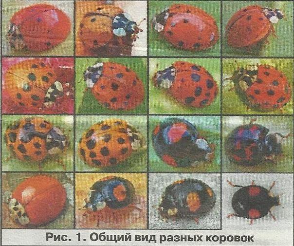 Тлёвие корівки - незамінні борці з попелицею, їх різновиди, розмноження, збереження популяцій