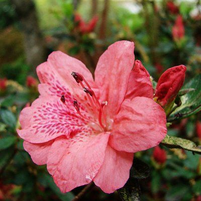 Тонкощі догляду та вирощування азалії в домашніх умовах, розмноження насінням і живцями