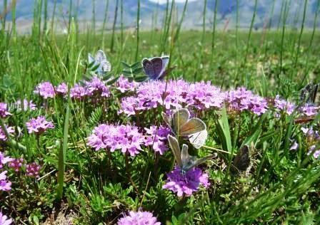 Трава чебрець-лікувальні властивості і протипоказання