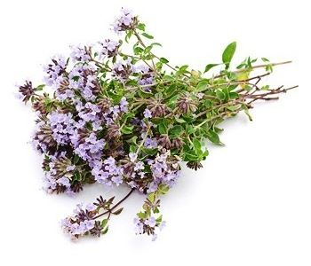 трава чебрець - лікувальні властивості і протипоказання