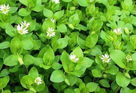 Трава мокриця - лікувальні властивості, фото