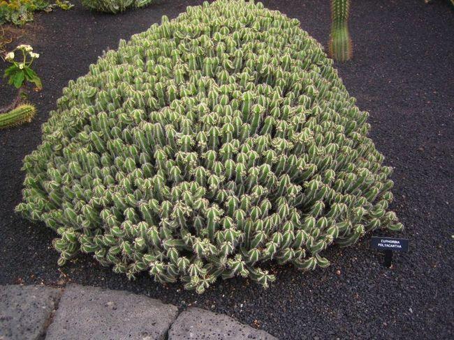 Трав`янистий багаторічник - очиток камчатський. Посадка і догляд в домашніх умовах