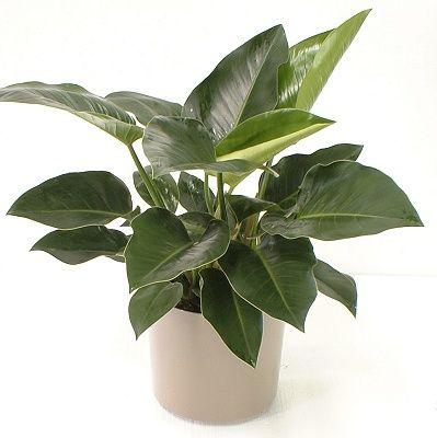 Тропічний завод філодендрон, листя якого передбачають погоду!