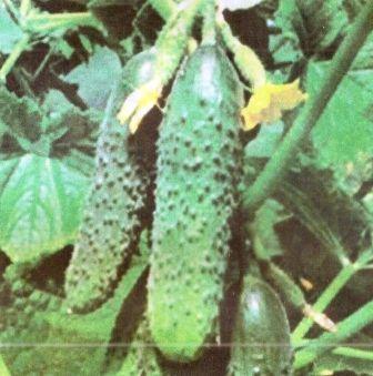 Добриво і підгодівля огірків