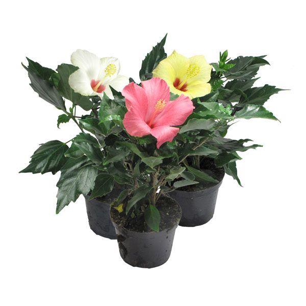 Догляд в домашніх умовах за «квіткою любові» - гібіскусом