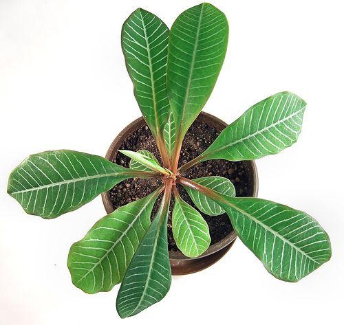 Догляд в домашніх умовах за молочаєм. Чи відноситься до кактусів?